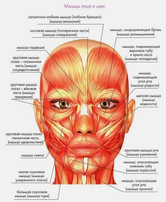 кинезиотейпы схема для лица мышцы в инфографике