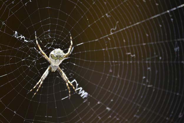 До чого сниться павук