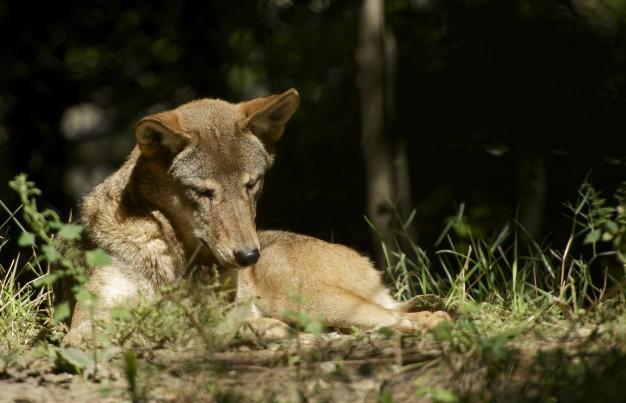 До чого сниться вовк: до біди чи до перемог над ворогами