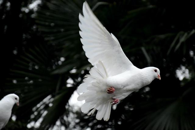 Мир или неприятности: к чему снится голубь